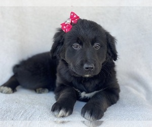 Bernese Mountain Dog-Goldendoodle Mix Puppy for sale in CEDAR LANE, PA, USA