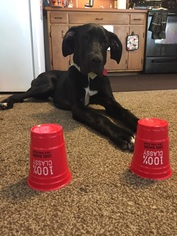 Great Dane Puppy for sale in SHIPPENSBURG, PA, USA