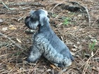 Schnauzer (Giant) Puppy For Sale in CLEWISTON, FL, USA