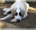 Small #22 Anatolian Shepherd-Maremma Sheepdog Mix