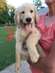 Goldendoodle Puppy For Sale in CLARKSVILLE, Texas,