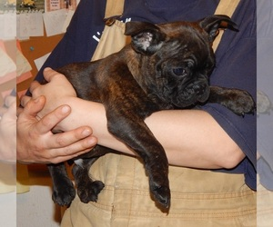 French Bulldog Puppy for sale in SPRAGGS, PA, USA