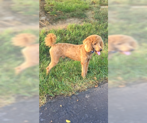 Mother of the Goldendoodle puppies born on 06/18/2019