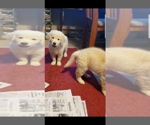 Golden Retriever Puppy for Sale in ROCK CREEK, Ohio USA