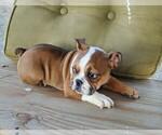 AKC English Bulldog Girl