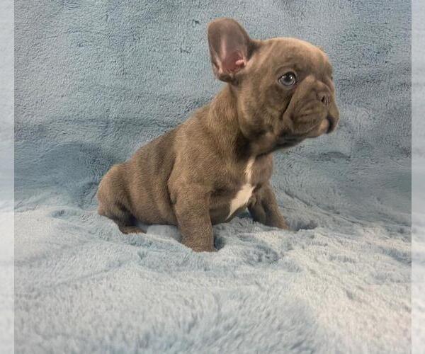 Medium Photo #3 French Bulldog Puppy For Sale in PHILA, PA, USA