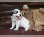 Puppy 7 Anatolian Shepherd-Maremma Sheepdog Mix
