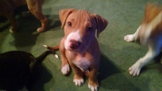 American Pit Bull Terrier Puppy For Sale in BELLEFONTE, PA, USA
