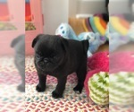 Pug Puppy For Sale in MOSELLE, MS, USA