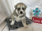 Pomsky Puppy For Sale in DONNELLSON, IA, USA