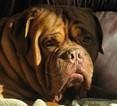 Dogue de Bordeaux Puppy For Sale in VINE GROVE, KY