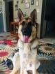 German Shepherd Dog Puppy For Sale in CARTERSBURG, IN, USA