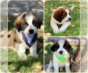 Saint Bernard Puppy for sale in HESPERIA, CA, USA