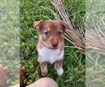 Small #1 Australian Shepherd-Siberian Husky Mix