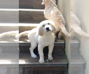Golden Retriever Puppy for Sale in JERSEY CITY, New Jersey USA
