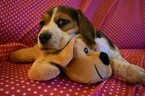 Small Photo #8 Beagle Puppy For Sale in REASNOR, IA, USA