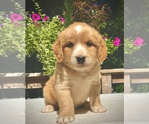 Goldendoodle-Miniature Bernedoodle Mix Puppy for sale in CHATHAM, PA, USA