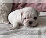 Small #13 English Bulldog