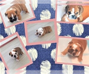 Bulldog Puppy for sale in Inverell, New South Wales, Australia