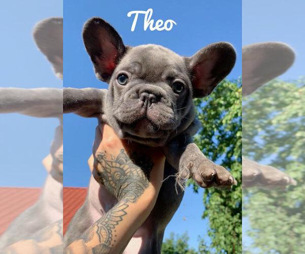 Medium Photo #1 French Bulldog Puppy For Sale in BRIDGEWATER, NJ, USA