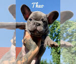 Small Photo #1 French Bulldog Puppy For Sale in BRIDGEWATER, NJ, USA