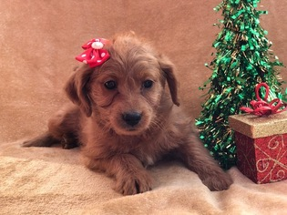 Labradoodle-Poodle (Miniature) Mix Puppy For Sale in CEDAR LANE, PA, USA
