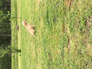 Labrador Retriever Puppy For Sale in CONWAY, SC