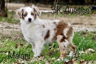View Ad: Miniature Australian Shepherd Puppy for Sale near