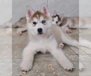 Siberian Husky Puppy for Sale in WARREN, Massachusetts USA