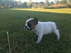 French Bulldog Puppy For Sale in STILLWATER, MN, USA