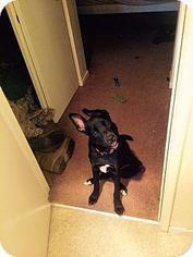 Cujo (Courtesy Post) - Labrador Retriever / Shepherd / Mixed Dog For Adoption
