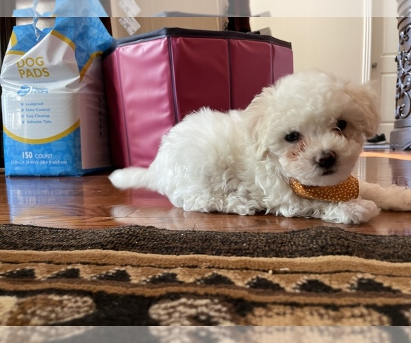 Medium Photo #6 Maltipoo Puppy For Sale in LOUISVILLE, KY, USA