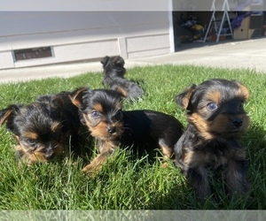 Yorkshire Terrier Puppy for sale in MEDFORD, OR, USA
