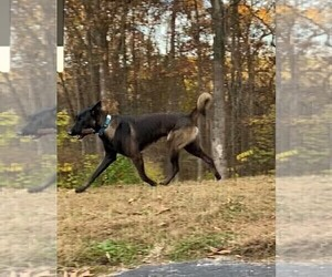 Father of the Belgian Malinois puppies born on 10/21/2020