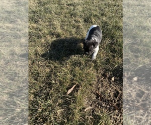 French Bulldog Puppy for sale in AVON, IN, USA