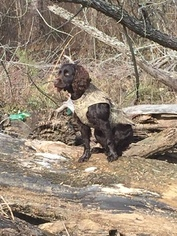 Father of the Boykin Spaniel puppies born on 09/24/2016