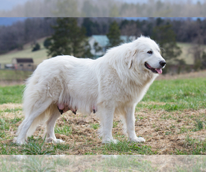 Mother of the Great Pyrenees puppies born on 02/07/2019