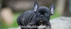 French Bulldog Puppy For Sale in FORT LAUDERDALE, FL