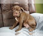 Small #9 Olde English Bulldogge