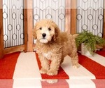 Small Photo #2 Goldendoodle Puppy For Sale in NAPLES, FL, USA