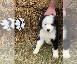 Bordernese Puppy for Sale in BERGHOLZ, Ohio USA