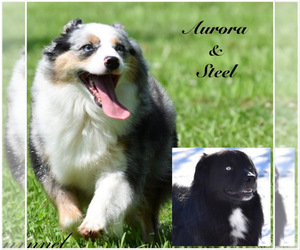 Father of the Australian Shepherd puppies born on 05/24/2021