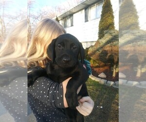 Labrador Retriever Puppy for sale in INKSTER, MI, USA