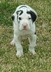 Great Dane Puppy For Sale in GEORGETOWN, Texas,