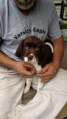 English Springer Spaniel Puppy For Sale in LOWMANSVILLE, KY