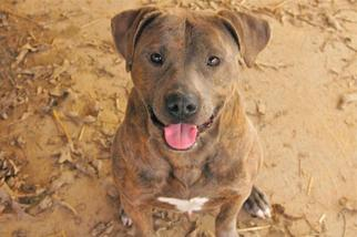 Matheo - Pit Bull Terrier Dog For Adoption