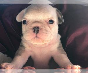 French Bulldog Dog for Adoption in WENATCHEE, Washington USA