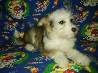 Chinese Crested Puppy For Sale in WELCH, OK, USA
