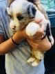 Australian Shepherd Puppy For Sale in BECKLEY, West Virginia,