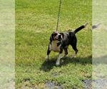 Small #12 Beagle-Catahoula Leopard Dog Mix